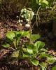 Pyrola rotundifolia