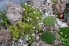 Arenaria pseudoacantholimon