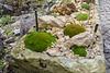 Scleranthus uniflora