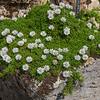 Globularia cordifolia ssp repens forma alba