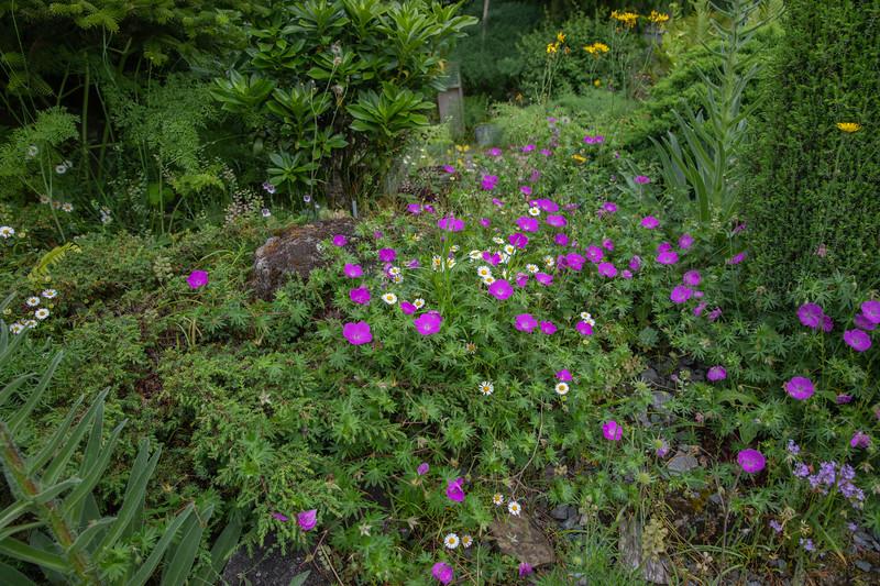Geranium sanguineum & Erigeron karvinskianus