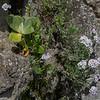 Primula auricula & Androsace lanuginosa