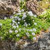 Globularia cordifolia var repens
