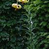 Lilium monadelphum subsp. armenum