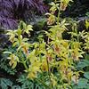 Calanthe tricarinata x Calanthe sieboldii var. striata