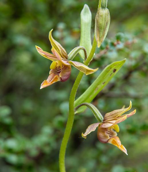 Epipactis grandiflora