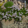 Globularia cordifolia var nana