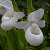 """Cypripedium """"Reginae White"""""""