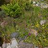 seedlings Dactyloriza species & Mimulus luteus