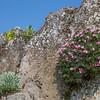 Saxifraga longifolia & Acantholimon olympicum