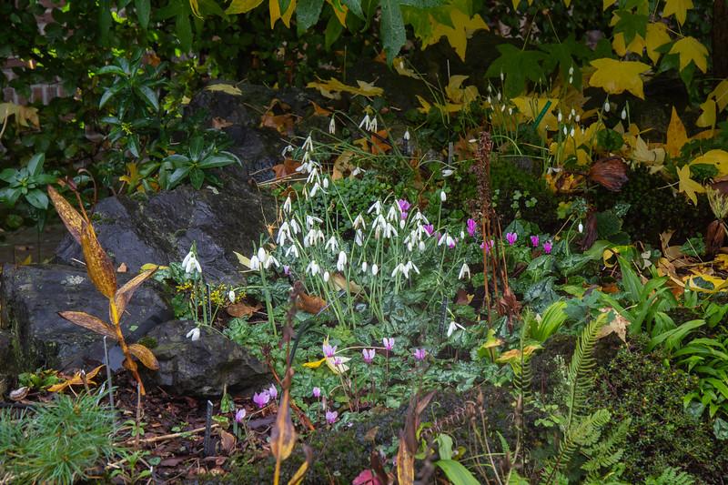 Galanthus regina-olgae ssp regina-olgae & Cyclamen hederifolium