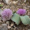 Allium spec.
