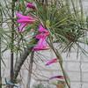 Gladiolis italicus
