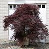 "Acer palmatum ""Garnet"""