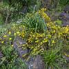 Daphne aurantiaca var. calcicola (gang ho ba)