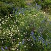 Helianthemum apenninum & Veronica austriaca