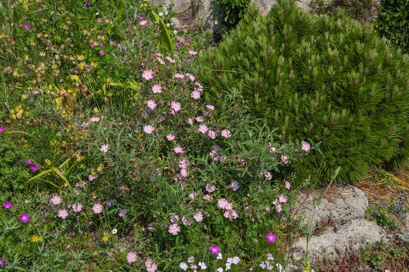 Cistus X skanbergii & Pinus leucodermis 'Schmidtii'