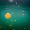 Swimming with stingless jellyfish