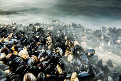 Goose barnacles (Pollicipes polymerus) and California mussel (Mytilus californianus), Vancouver Island, British Columbia