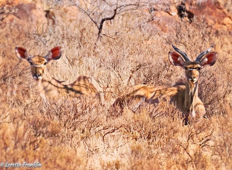 Kudu-3 copy