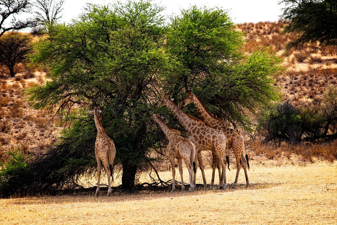 Giraffes-2016-3