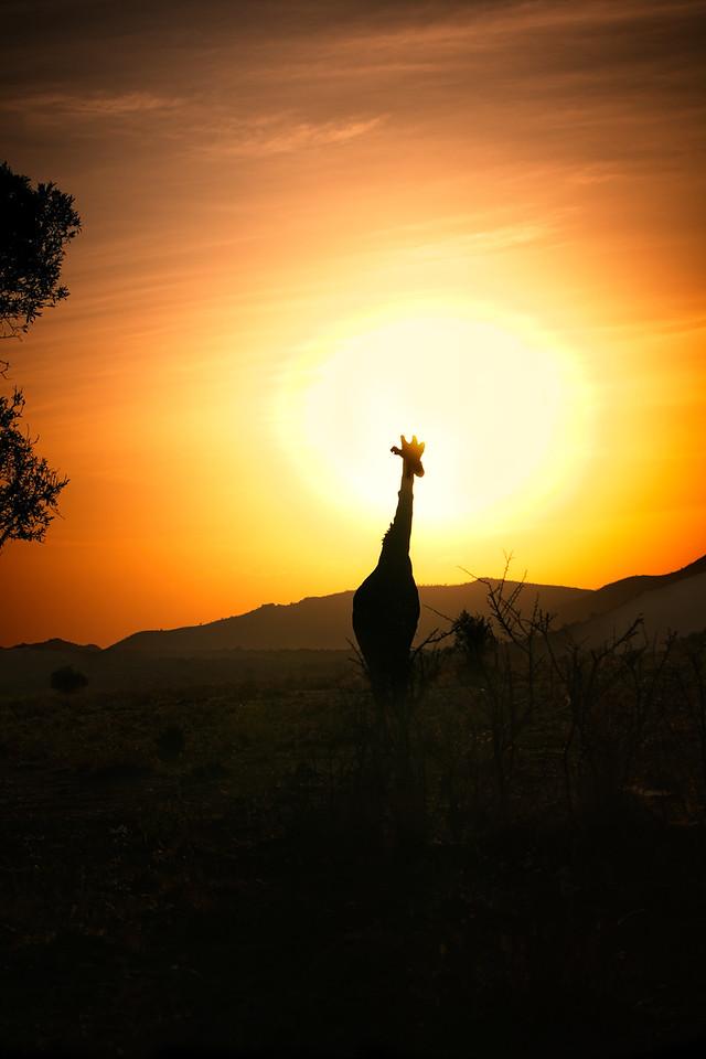 Giraffes-2016-16