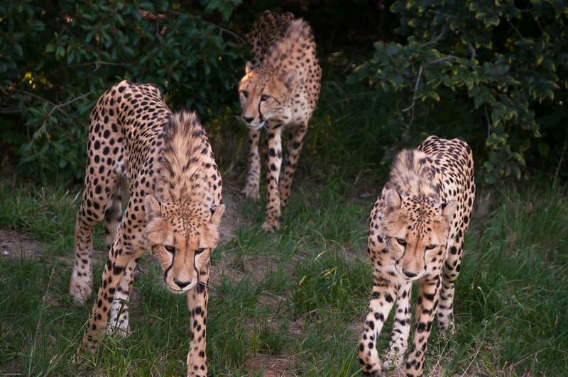 Van Dyk Cheetah Reserve_03_23_154004