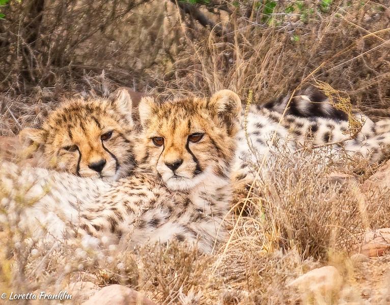 Cheetahs-2