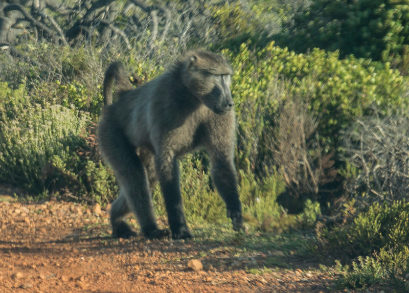 Baboons Cape Point Road-25