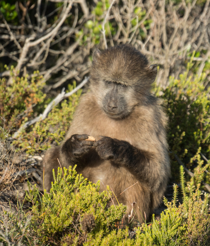 Baboons Cape Point Road-45