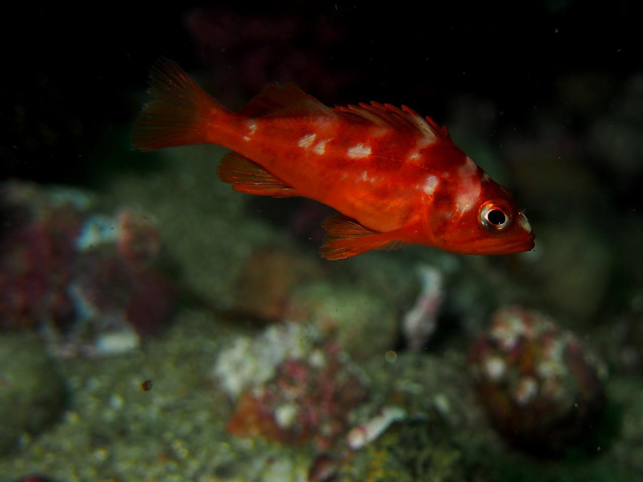 Copper Rockfish (juvenile)