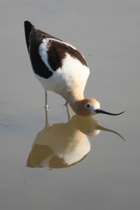 American Avocet(female in breeding posture)