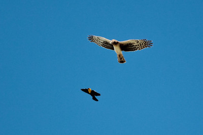 Northern Harrier with Yellow-headed Blackbird chasing