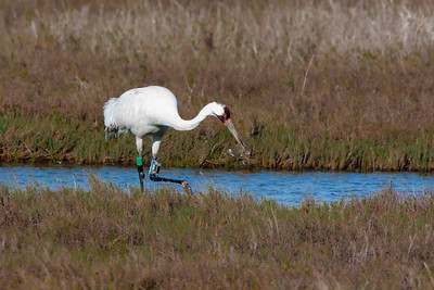 Whooping Crane Carries Off Blue Crab for Dinner