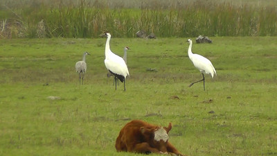 Whooping Crane family on Lamar Peninsula takes to the air, just outside Goose Island State Park.  Listen for their triumpeting call!