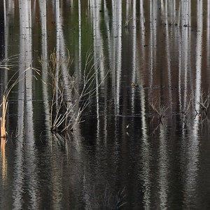 #1594  Swamp reflections