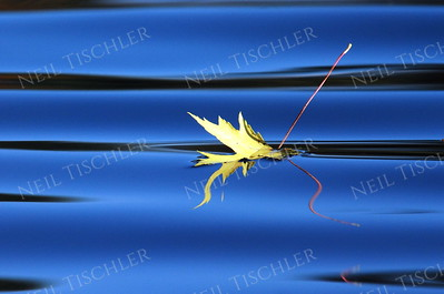 #640  A silver maple leaf against the brilliant blue sky reflection