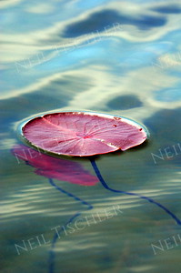 #686  A water lily pad against reflections of clouds
