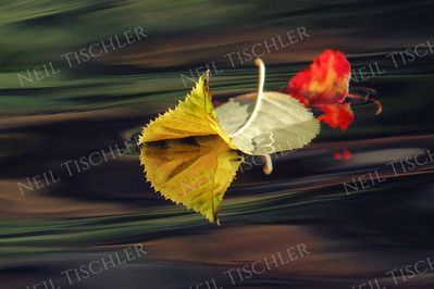 #1060  Colorful leaves floating atop stream with reflections of nearby foliage streaking the water