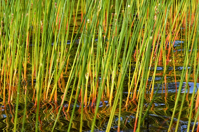 1417  Lake reeds at Damariscotta Lake, Maine