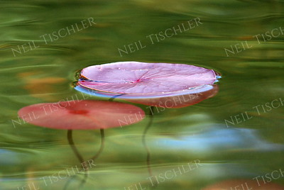 #684  Colorful water lily pads
