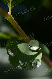 #1049  A spherical droplet rests atop a leaf
