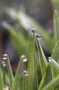 #065  Water droplets dangle from the leaf tips of Siberian squill