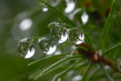 #981  Droplets dangle from evergreen needles