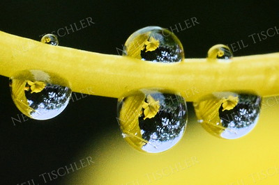 #1058  Water droplets perch and dangle along the pistil of a yellow daylily flower.  This is a tight crop of the center of image #1027;  do not attempt to print very large.