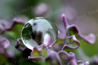 #1101  Single water droplet forms a perfect sphere perched among the folds of a purple kale leaf.