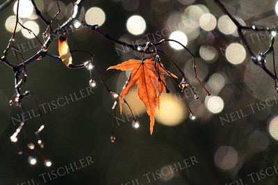 #997  Autumn sunlight streaming through out-of-focus water droplets on a Japanese Maple.