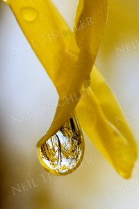 #1103  A water droplet dangling from a Forsythia blossom in spring.
