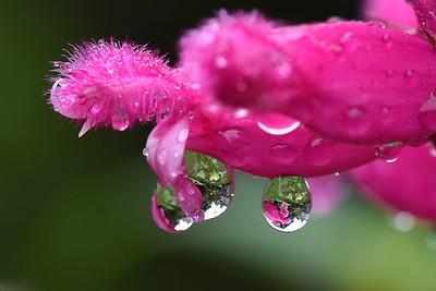 #1556   Droplets on Rosebud Salvia Bethelli