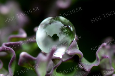 #1104  A single water droplet forms a perfect sphere perched among the folds of a purple kale leaf.